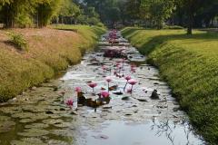 pink lelies