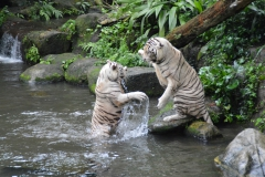 zoo white tigers